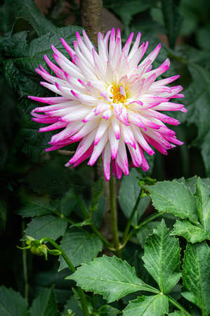 Pink white dahlia blossom in summer. Close up.