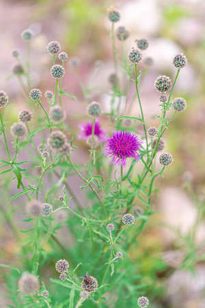 Purple thistle blossom and buds in summer. Close up. 版權商用圖片