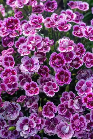Dianthus caryophyllus, commonly known as the carnation or clove pink, is a species of Dianthus. Close up.