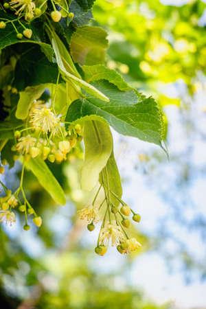 Linden tree blossoms in summer. Close up. 版權商用圖片