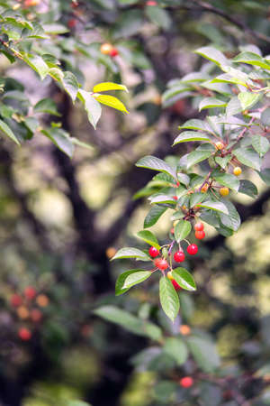 Cherry tree branch with berries after rain in summer. Close view.
