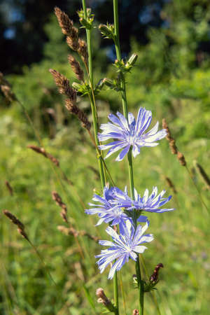 Chicory blue blossoms in the meadow. Close up. 版權商用圖片