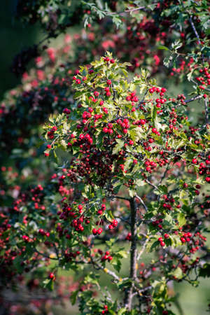 Branch with berries of ripe hawthorn at sunny autumn day