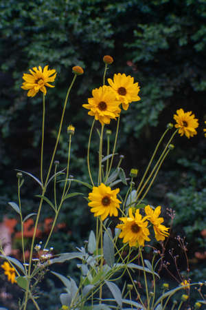 Heliopsis flower blossoms in autumn.