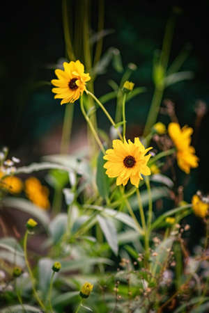 Heliopsis flower blossoms in autumn. Close view.