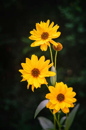Three Heliopsis flower blossoms in autumn. Close view. Stock Photo