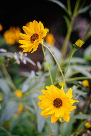 Two Heliopsis flower blossoms in autumn. Close view. Stock Photo