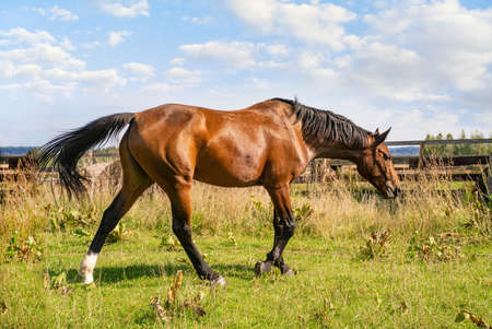 Beautiful brown horse on autumn grass in a farm.