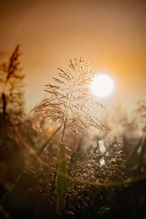 Close view of reeds on sunset in autumn. Stock Photo