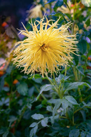 Dahlia Encore is a magnificent and eye-catching dahlia with rich buttery yellow blossoms. Close up.