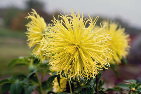 Dahlia Encore is a magnificent and eye-catching dahlia with rich buttery yellow blossoms. Close up. Stock Photo