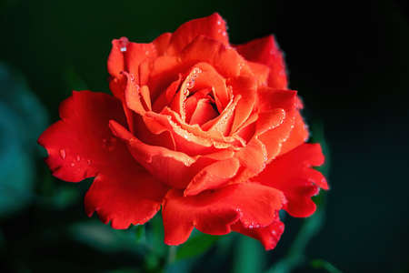 Close view of beautiful red rose blossom with water drops.