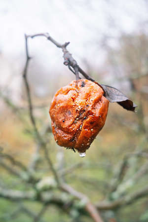 Close view of rotten apple after rain on foggy morning in  autumn Imagens