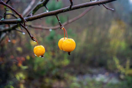 Apples of Paradise tree with ripe fruits in autumn. Close up. Imagens