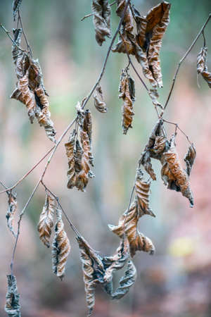 Dry autumn leaves on the tree twigs. Close up. Imagens