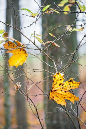 Colorful maple leaves on the twigs in autumn. Close view.