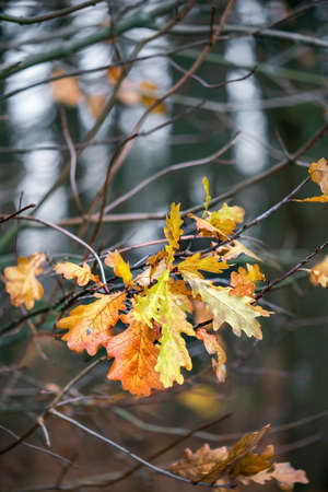 Colorful oak leaves on twigs in autumn. Close view. Imagens