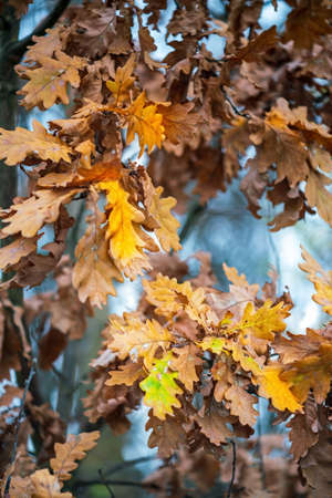 Colorful oak leaves on branches in autumn. Close view.