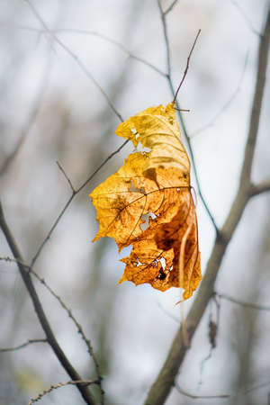 Yellow maple leaf on a twig in autumn. Close view. Imagens