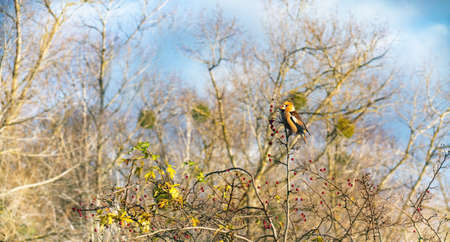 Hawfinch (Coccothraustes coccothraustes) on a branch of hawthorn with berries on sunny day in autumn. Lithuania.