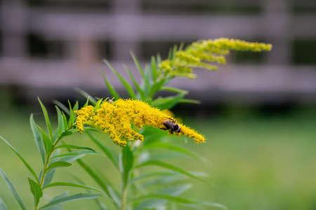 Bumblebee on yellow solidago blossom in summer. Macro.