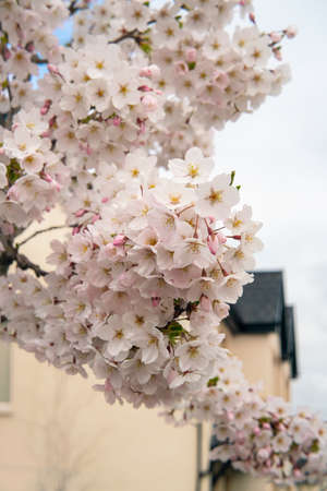 Yoshino Cherry tree with white blossoms in spring. close view.