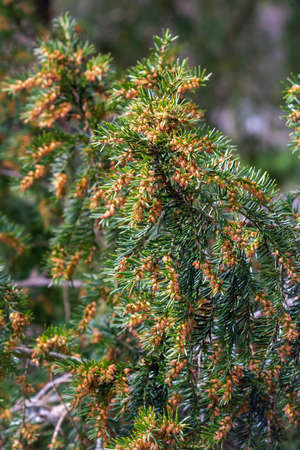 Taxus baccata is a species of evergreen tree in the family Taxaceae, native to western, central and southern Europe, northwest Africa, northern Iran and southwest Asia