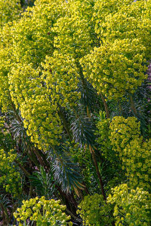 Euphorbia characias flower blossoms  in spring.  Close up