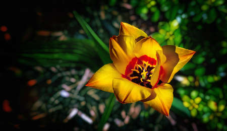 Yellow red tulip blossom on a dark background. Top view.