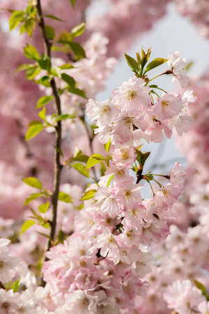 Japanese cherry tre blossoms in spring. Close view.