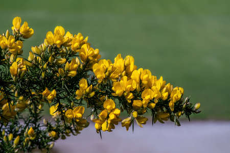 European Gorse plant blooming in spring. Close view. 写真素材