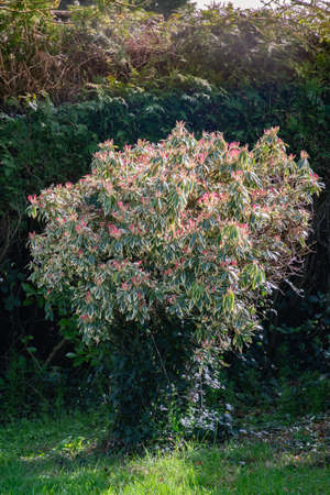Japanese Pieris plant blooming in spring. Close view.