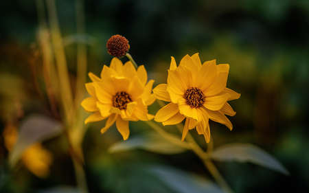Two Heliopsis flower blossoms in summer