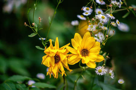 Two Heliopsis and daisy blossoms in autumn. Close up.