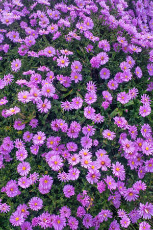 Michaelmas daisy blossoms in autumn. Top view, close up. 写真素材