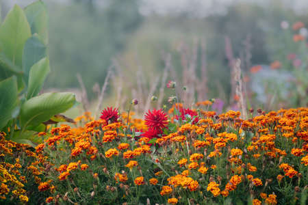 French Marigold and Dahlia flowers in autumn 写真素材