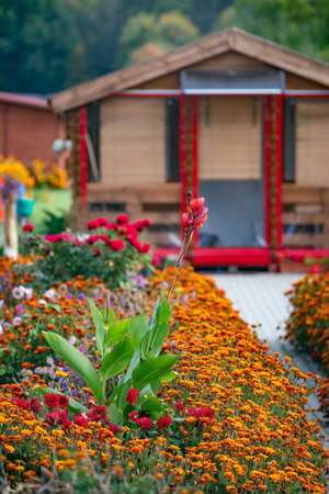 French Marigold, Dahlia and Canna flowers in the garden in autumn