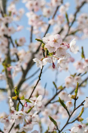 Cherry tree blossoms in spring. Close up.