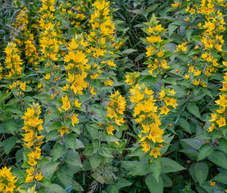 Large yellow loosestrife plant bloomig in summer. Close view.