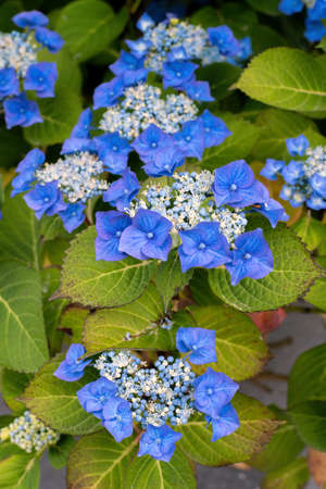 Hydrangea flower blossoms in summer. Close up.