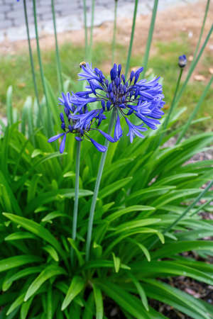 Beautiful African lily flower blossom in summer Stock Photo