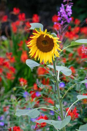 Beautiful sunflower blossom in the garden in summer