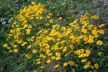 Yellow Common rock-rose (Helianthemum nummularium L.) blossoms in the meadow in summer Stock Photo