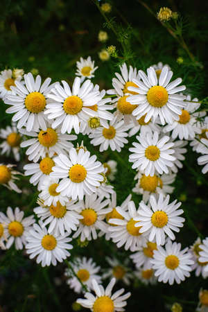 Foetid chamomile flower blossoms in summer. Close view.