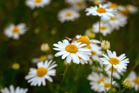 Foetid chamomile flower blossom with insect in summer. Close view.