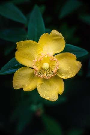 Peter Dummer (Hypericum dummeri) blossom after rain. Close up..