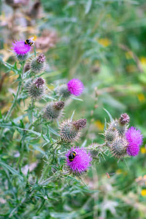 Cirsium (plume thistles) plant blossoms with Bumblebees in summer. Close view. Stock Photo
