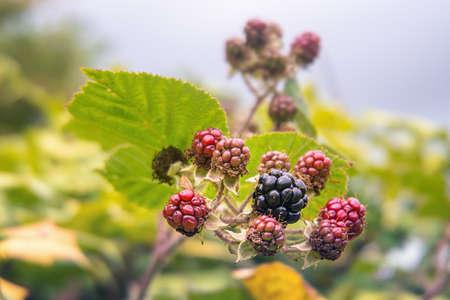 Unripe wild blackberries in summer. Close up.