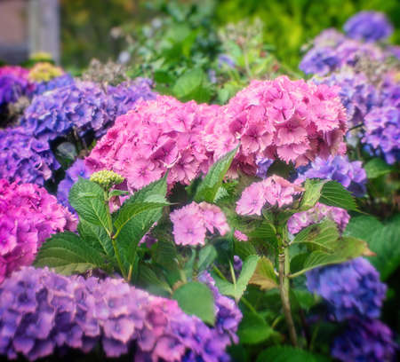 Colorful Hortensia flower blossoms in summer. Close view. Stock Photo