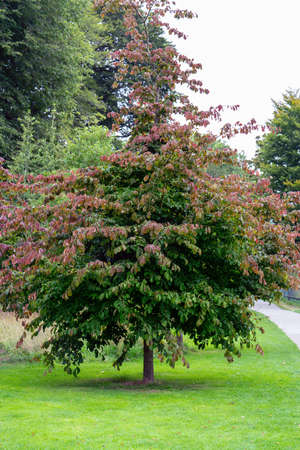 Persian Ironwood tree in the park in summer